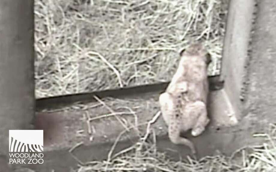 A screen capture from the internal cam shows a lion cub in a behind-the-scenes den at Woodland Park Zoo. The cubs were born on Oct. 24, 2014. Photo: Woodland Park Zoo