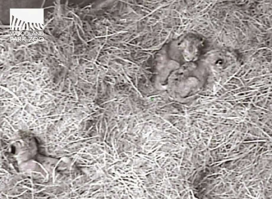 A screen capture from the internal cam shows three lion cubs in a behind-the-scenes den at Woodland Park Zoo. The cubs were born on Oct. 24, 2014. Photo: Woodland Park Zoo