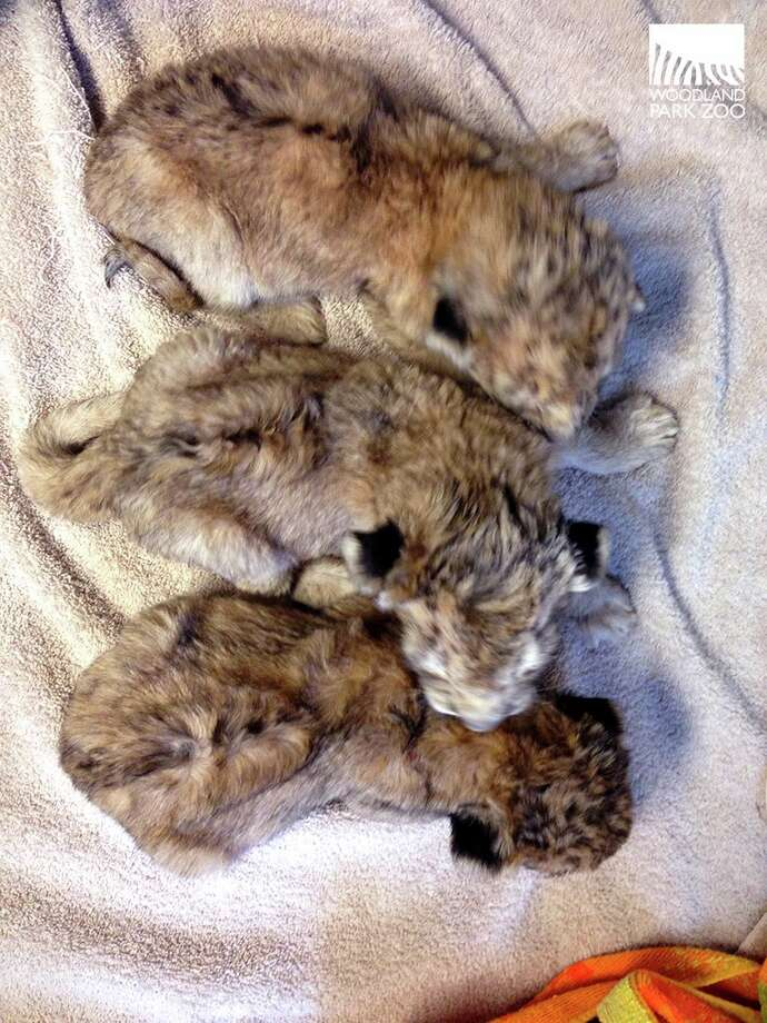 Three lion cubs get a checkup at Woodland Park Zoo. The cubs were born on Oct. 24, 2014. Photo: Dr. Darin Collins/Woodland Park Zoo