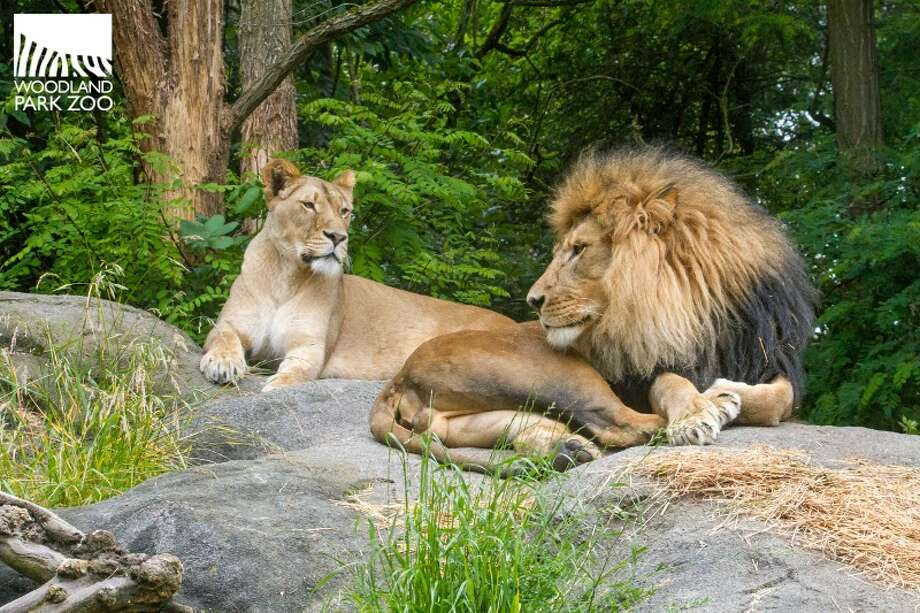 New lion parents Adia and Xerxes are photographed together in June 2014 at Woodland Park Zoo. The cubs were born on Oct. 24, 2014. Photo: Dennis Dow, Dennis Dow/Woodland Park Zoo