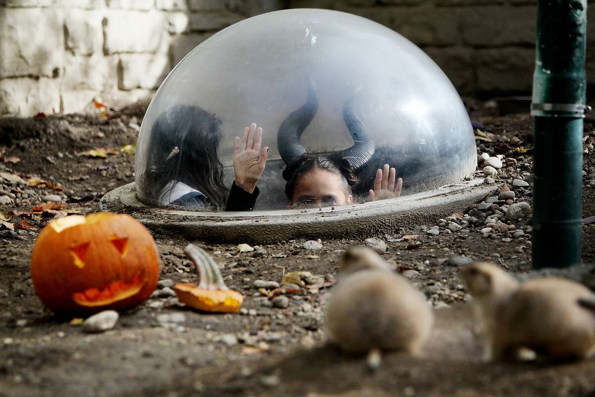 NOW YOU'VE GONE AND SUMMONED SATAN IN THE CRYSTAL BALL: Prarie dogs watch as wicked 7-year-old Reyna Rodriguez (dressed as Maleficent) appears in a window of their enclosure during Boo at the Zoo at Julia Davis Park in Boise, Idaho.