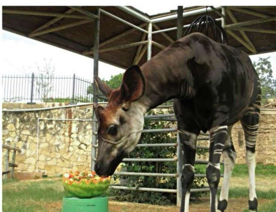 The San Antonio Zoo announced Saturday that Chuma, a 29-year-old Okapi, died over the weekend.  In a Facebook post, the San Antonio Zoological Society said Chuma was the oldest okapi in the world and a necropsy will be performed to determine cause of death. Photo: Courtesy Of San Antonio Zoological Society