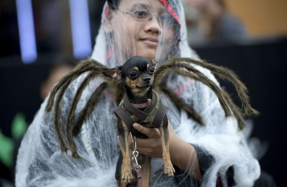 THIS IS THE WORST TIME OF YEAR in Manila for taranchihuahuas. The creepy crawlies are everywhere! (Halloween fundraiser for the Philippine Animal Welfare Society.)