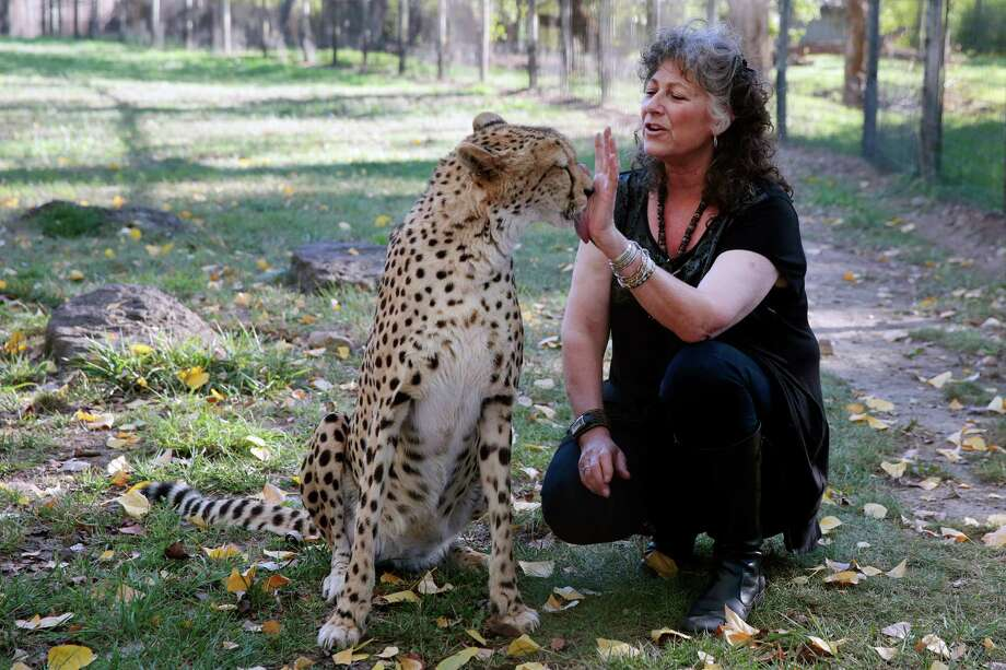 Dr. Laurie Marker interacts with Sahara, a cheetah, at Safari West in Santa Rosa, California, Wednesday, October 08, 2014. Marker is the world's foremost cheetah expert. Ramin Rahimian/Special to The Chronicle Photo: RAMIN RAHIMIAN / Special To The Chronicle / ONLINE_YES