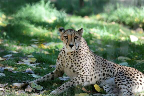 Gijima, a 13-year-old cheetah, at Safari West in Santa Rosa, California, Wednesday, October 08, 2014. Marker is the world's foremost cheetah expert. Ramin Rahimian/Special to The Chronicle