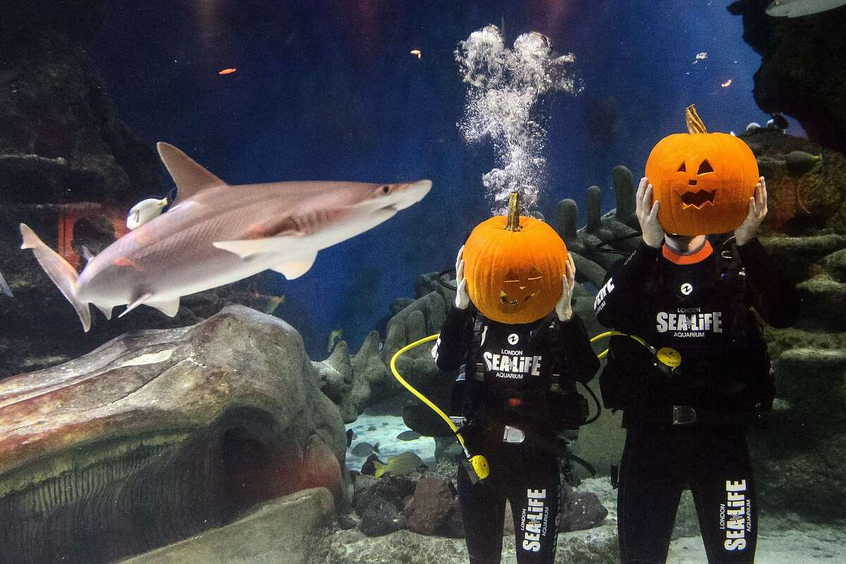 TRICK OR TREAT? At the London Aquarium, a shark ponders whether pumpkins are edible.