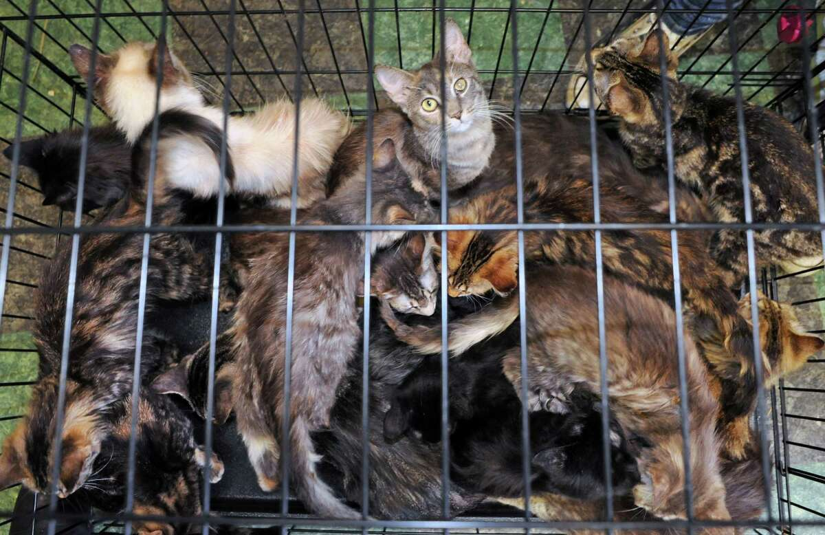 A cage of cats rescued from a home in Schaghticoke wait for a health exam at the Mohawk Hudson Humane Society on Tuesday Oct. 28, 2014 in Menands, N.Y. (Michael P. Farrell/Times Union)
