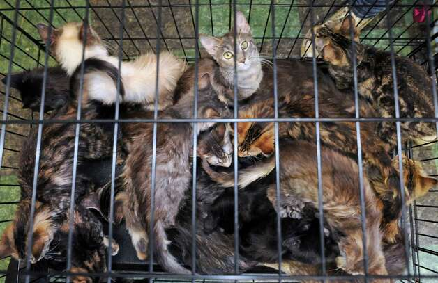 A cage of cats rescued from a home in  Schaghticoke wait for a health exam at the Mohawk Hudson Humane Society on Tuesday Oct. 28, 2014 in Menands, N.Y. (Michael P. Farrell/Times Union) Photo: Michael P. Farrell