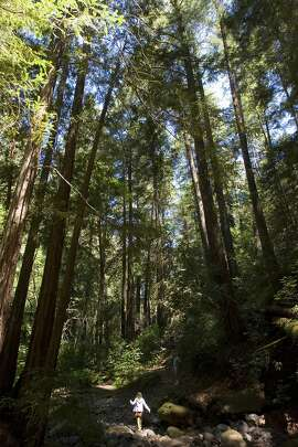 (NYT10) ROBERT LOUIS STEVENSON STATE PARK, Calif. -- NAPA-VALLEY-HIKES-3 -- Hikers make their way through groves of Redwoods along on the Redwood Trail in Bothe Napa State Park, just north of St. Helena, Calif. in the Napa Valley on May 5, 2007.  (Peter DaSilva for The New York Times)