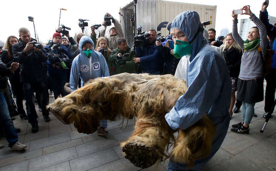 Russian Geographic Society staff members carry the body of the baby mammoth to its display in Moscow on Tuesday. The mammoth  was found four years ago in the Siberian permafrost. Photo: Ivan Sekretarev / Associated Press / AP