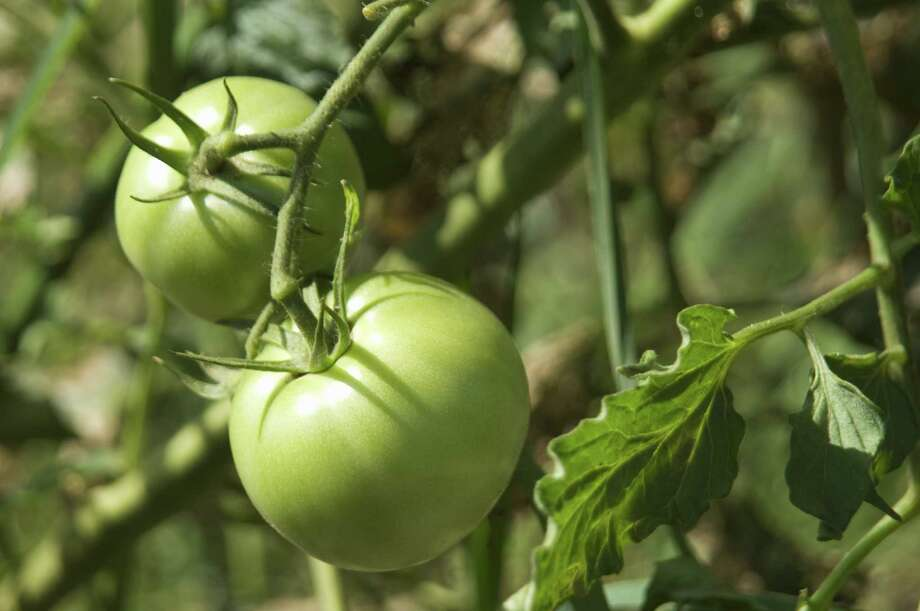 Have agricultural fabric handy to wrap tomato cages in case a frost is forecast. Green tomatoes on branch Photo: Getty Images / (c) Wataru Yanagida