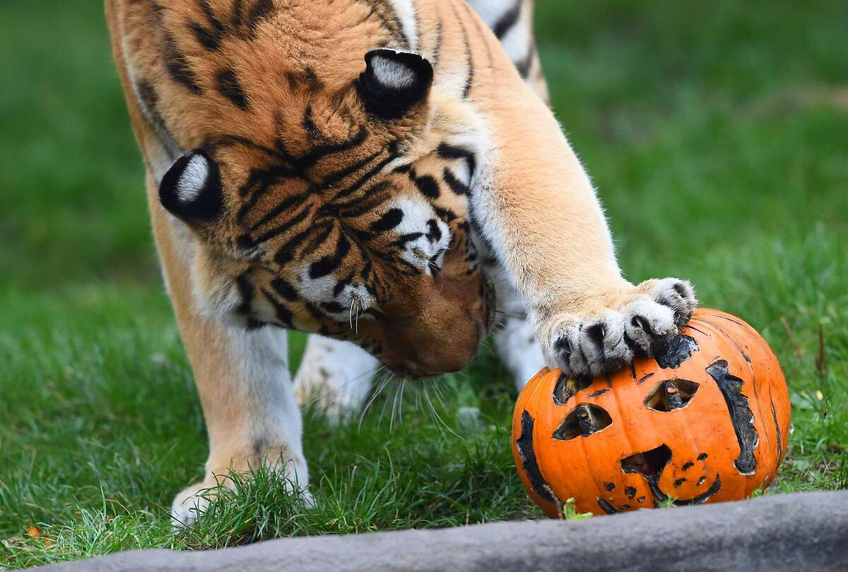 Must be a treat in here somewhere: Female tiger Maruschka inspects a carved pumpkin filled with meat at the Tierpark Hagenbeck zoo in Hamburg, northern Germany.