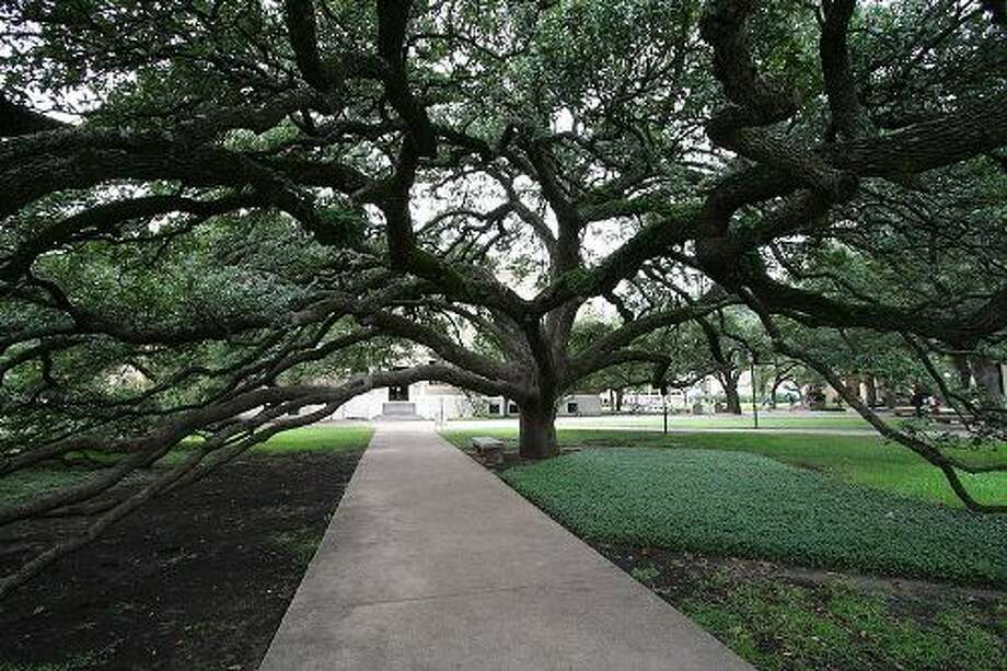 Century TreeSpecies: Live Oak County: BrazosPublic Access: Yes Notes: This tree is located on the Texas A&M University campus between the Academic Building and Bolton Hall. Walk under the boughs of the Century Tree with a lover and you will be together forever or so goes the tradition at the school.  Photo: Texas A&M Forest Service