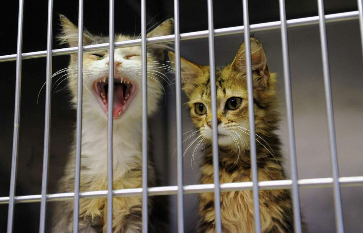 A kitten from a cat hoarder's house yawns at the Mohawk Hudson Humane Society on Wednesday, Oct. 29, 2014 in Menands, N.Y. (Lori Van Buren / Times Union)