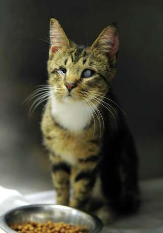 A blind cat from a cat hoarder's house is seen at the Mohawk Hudson Humane Society on Wednesday, Oct. 29, 2014 in Menands, N.Y.  (Lori Van Buren / Times Union) Photo: Lori Van Buren / 00029244A