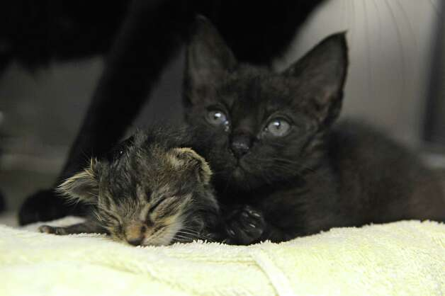 Kittens from a cat hoarder's house are seen at the Mohawk Hudson Humane Society on Wednesday, Oct. 29, 2014 in Menands, N.Y.  (Lori Van Buren / Times Union) Photo: Lori Van Buren / 00029244A
