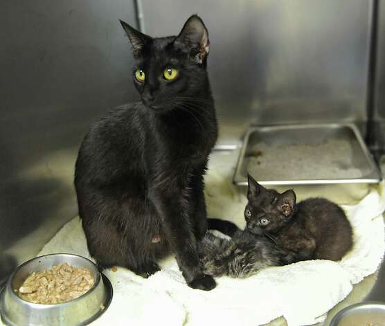 A cat and kittens from a cat hoarder's house are seen at the Mohawk Hudson Humane Society on Wednesday, Oct. 29, 2014 in Menands, N.Y.  (Lori Van Buren / Times Union) Photo: Lori Van Buren / 00029244A