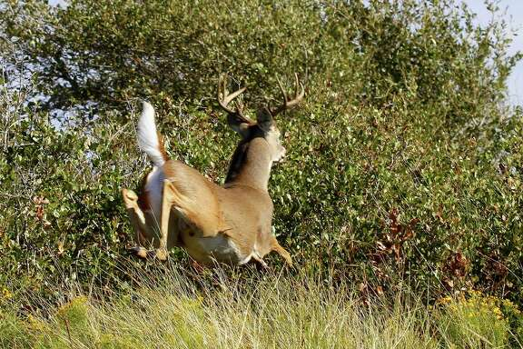 Timely rains boosted body condition and antler development of many of Texas' 4 million white-tailed deer, creating good prospects for the state's hunters heading afield for Saturday's opening of the general white-tailed deer hunting season.