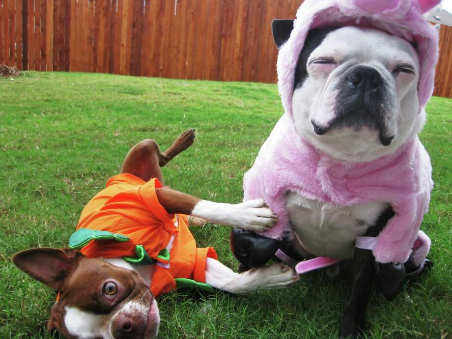 Halloween Pet Safety Tips The Houston Humane Society wants everyone to take the following steps to be sure pets have a happy, healthy and humane Halloween. Photo: Genevieve Morrison, Getty Images / Flickr Select