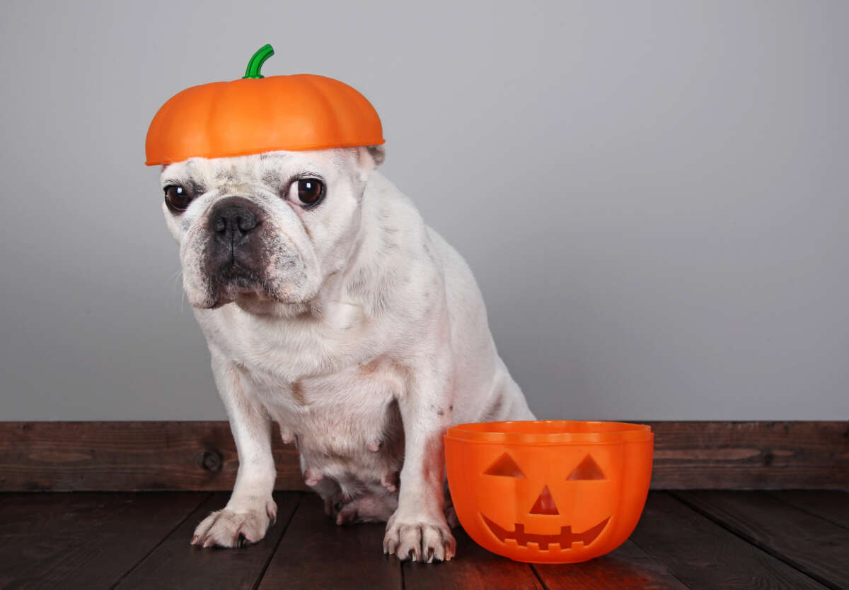 Halloween Pet Safety Tip Jack O' Lanterns! Fun and festive, but watch those candles. A darting cat or dog can accidentally tip them over and create a fire hazard! Consider switching to battery operated tea lights this year. (Source: Houston Humane Society)