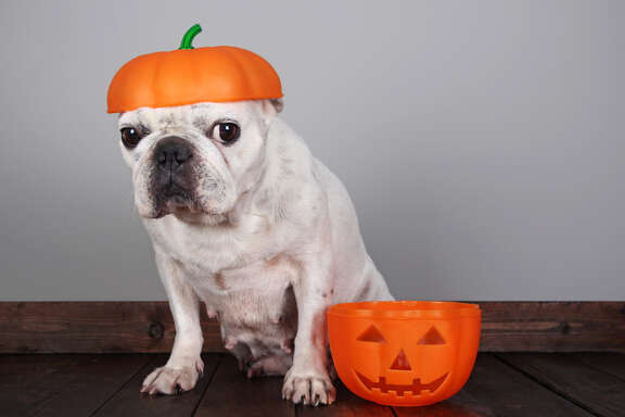 Halloween Pet Safety Tip   •	Jack O' Lanterns!  Fun and festive, but watch those candles.   A darting cat or dog can accidentally tip them over and create a fire hazard!  Consider switching to battery operated tea lights this year.    (Source: Houston Humane Society)