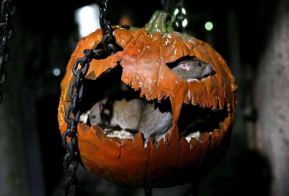 RAT-O'-LANTERN: When visiting the London Dungeon, do NOT put your hand in the trick-or-treat pumpkins. Unless you don't mind having your fingers nibbled. Photo: Danny E. Martindale, Getty Images