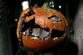One of the rats explores one of the 1600 pumpkins that have been installed into the London Dungeon this Halloween, where the season of scare will run until Wednesday, November 5 at The London Dungeon on October 12, 2014 in London, England.
