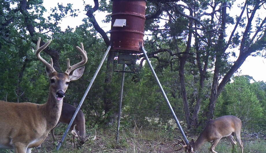 young tailed feeders feeder bucks but season congregated good outdoors corn slow sports and may with velvet start antlers article at still san their mature deer white forecast