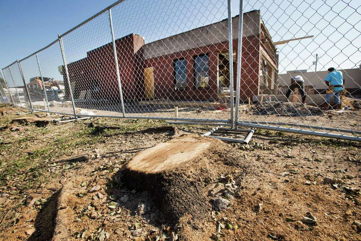 Freshly-cut stumps of six large live oak trees are seen near the Wendy's at North and Kirby on Thursday. Overnight, trees were felled to make room for an expansion of the restaurant.