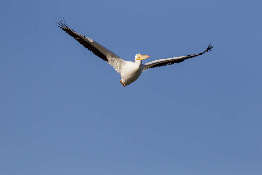 American white pelicans migrate here for the winter from northern breeding grounds. Photo: Kathy Adams Clark / Kathy Adams Clark/KAC Productions