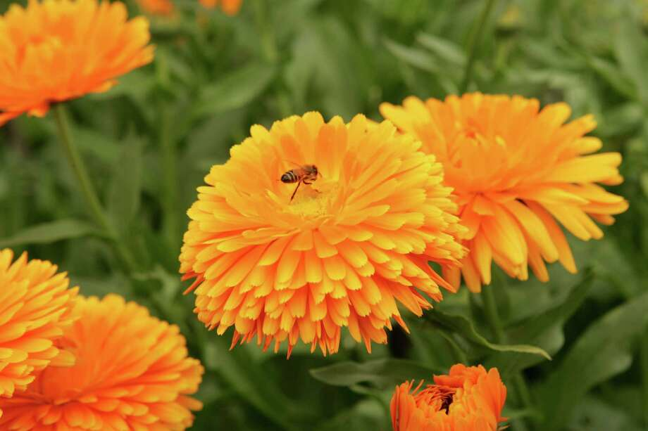 Calendulas prefer the cooler months. The daisylike blooms also are edible. Photo: BRUCE BENNETT, FREELANCE / FREELANCE