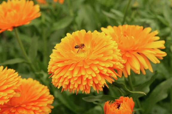 Calendulas prefer the cooler months. The daisylike blooms also are edible.