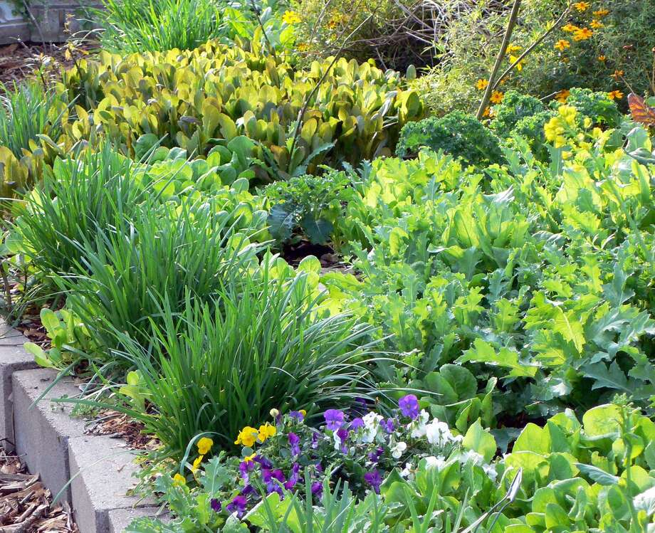 Ruby chard, violas, artichokes and leaf lettuces bring a variety of color and texture to this planting. Photo: Suzy Fischer