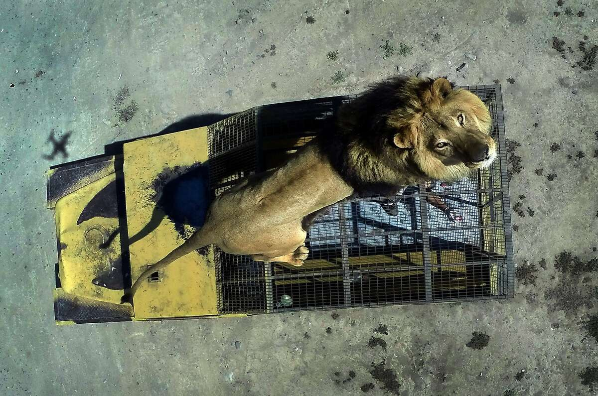 HOPE HE DOESN'T HAVE TO GO TO THE BATHROOM: At the Safari Lion Zoo in Rancagua, Chile, the lions sometimes stand on top of the caged, open-air safari trucks that carry the tourists.