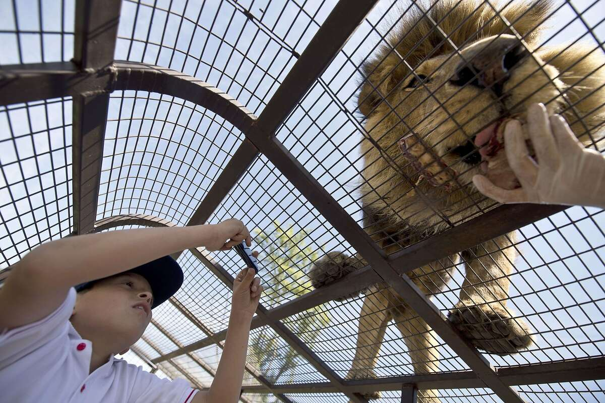 AS IN TWO FEET: A lion snacks on a treat through the cage atop a safari truck at Safari Lion Zoo in Rancagua, Chile. The zoo bills itself as the only park in Latin America where tourists can view lions from