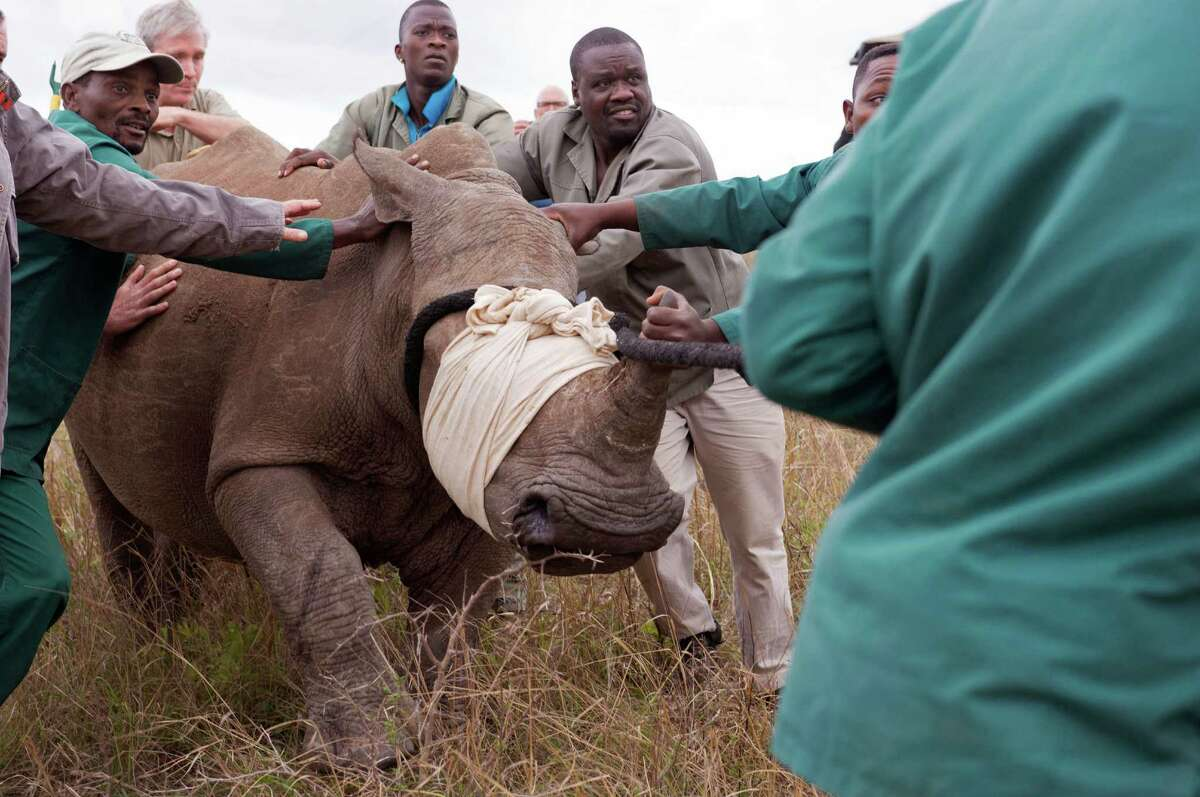 In this photo taken Monday, Oct. 13, 2014, a white Rhino from Kube Yini Private Game Reserve in KwaZulu-Natal is captured and moved to a truck after its partner was killed by poachers near the town of Hluhluwe, South Africa. South African police say they have arrested two Vietnamese and confiscated a large number of rhinoceros horns as part of an anti-poaching operation. Police said in a statement Saturday, Nov. 1, 2014, that the suspects were detained Friday night while in transit at Johannesburg's main international airport.