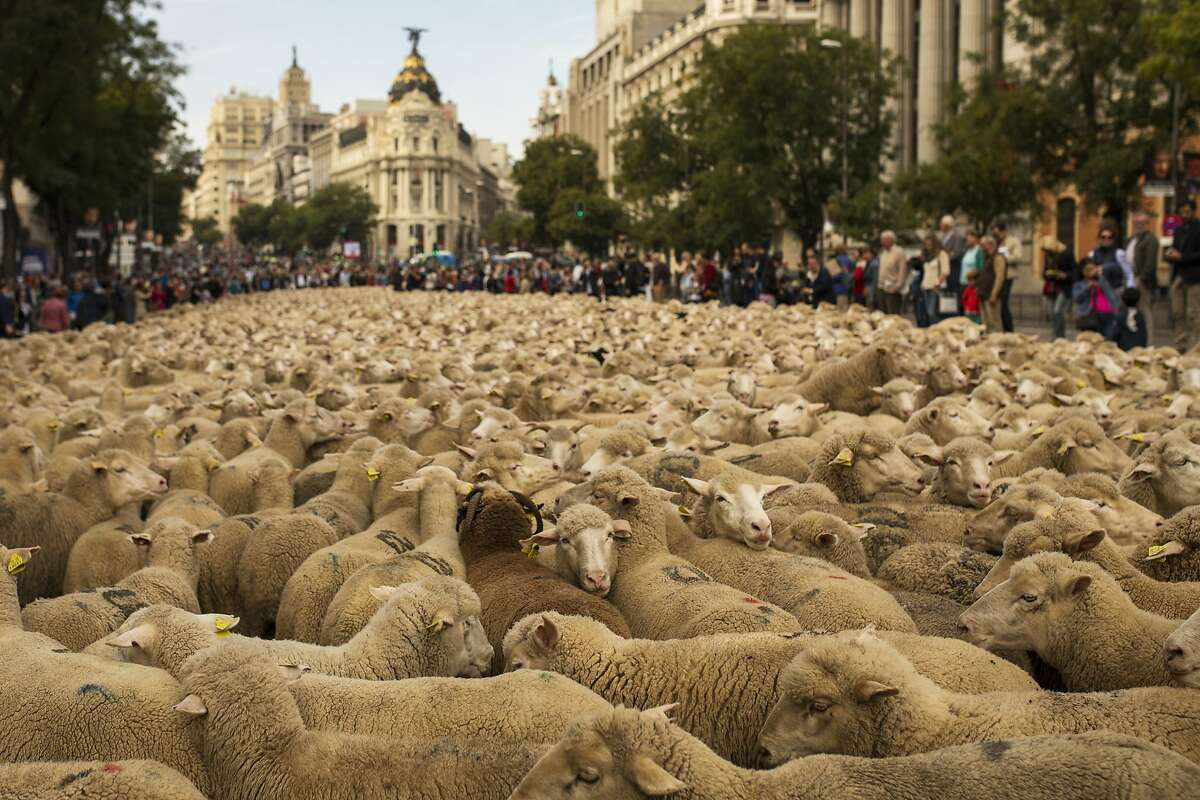 Sheepish protest: Shepherds lead a flock of 2,000 sheep through the center of Madrid, Spain, in defense of ancient grazing, droving and migration rights increasingly threatened by urban sprawl and modern agricultural practices. Traffic was stopped as the sounds of bells and bleating filled the capital.