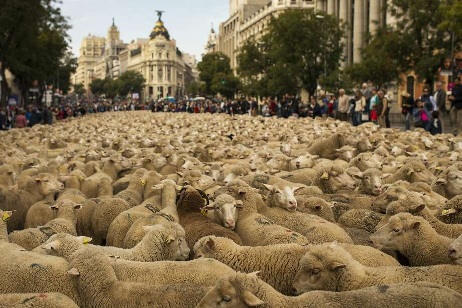 Sheepish protest:Shepherds lead a flock of 2,000 sheep through the center of Madrid, Spain, in defense of ancient grazing, droving and migration rights increasingly threatened by urban sprawl and modern agricultural practices.  Traffic was stopped as the sounds of bells and bleating filled the capital. Photo: Andres Kudacki, Associated Press