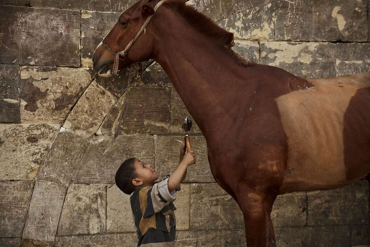 Starting young: Mustafa Mohamed, 5, reaches to trim a horse at his father's makeshift animal barber shop in Cairo, Egypt. Mustafa's father is one of Cairo's donkey barbers, an expert in trimming and styling horses, camels, mules, sheep, goats, dogs and donkeys.