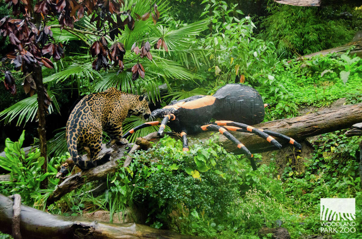 Two jaguars coming to San Antonio Zoo to mate