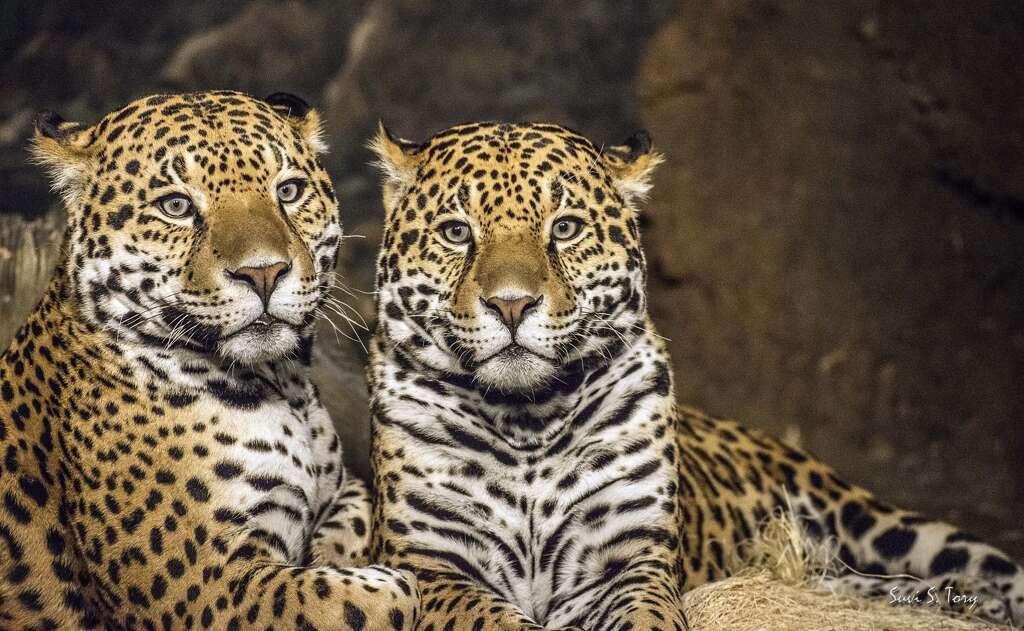 Jaguar San Antonio >> Two Jaguars Coming To San Antonio Zoo To Mate San Antonio