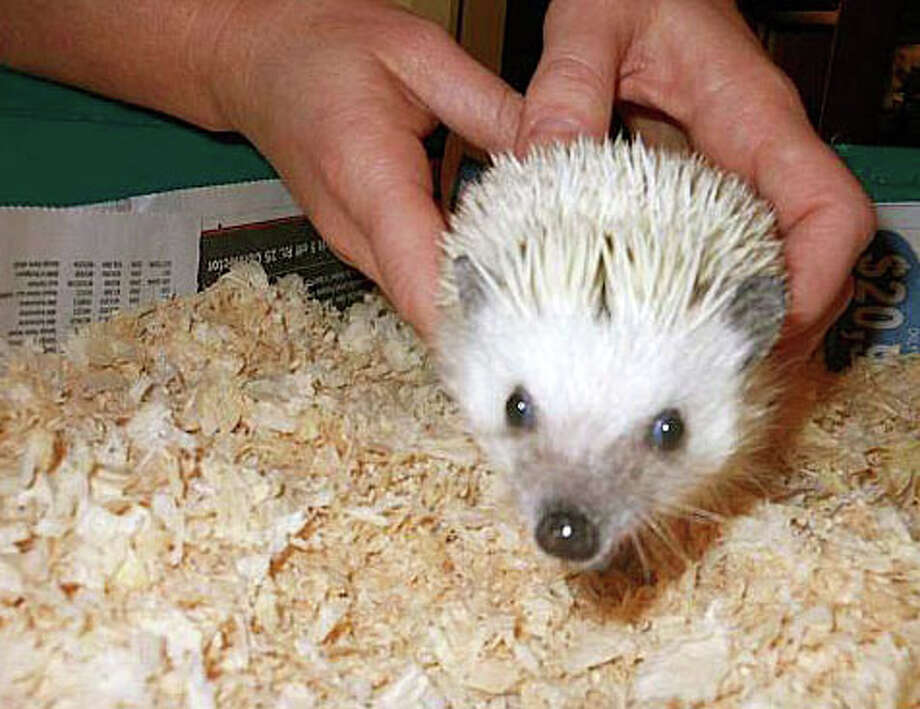 Simon the Hedgehog, the victor in Connecticut Audubon's last critter election, is expected to aggressively defend his office in the annual critter face-off at Audubon's Fairfield Center, as ballots are cast from 11 a.m. to 2 p.m. Photo: File Photo / Fairfield Citizen