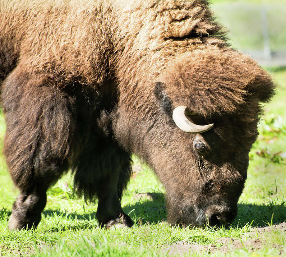 In 1890, two bison were brought to Golden Gate Park to begin what has been a herd lasting over 100 years. What were their names? Photo: May Woon / San Francisco Zoo / ONLINE_YES