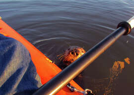This sea otter popped up next to the kayak and stayed long enough to get its picture taken, then ducked under the boat.