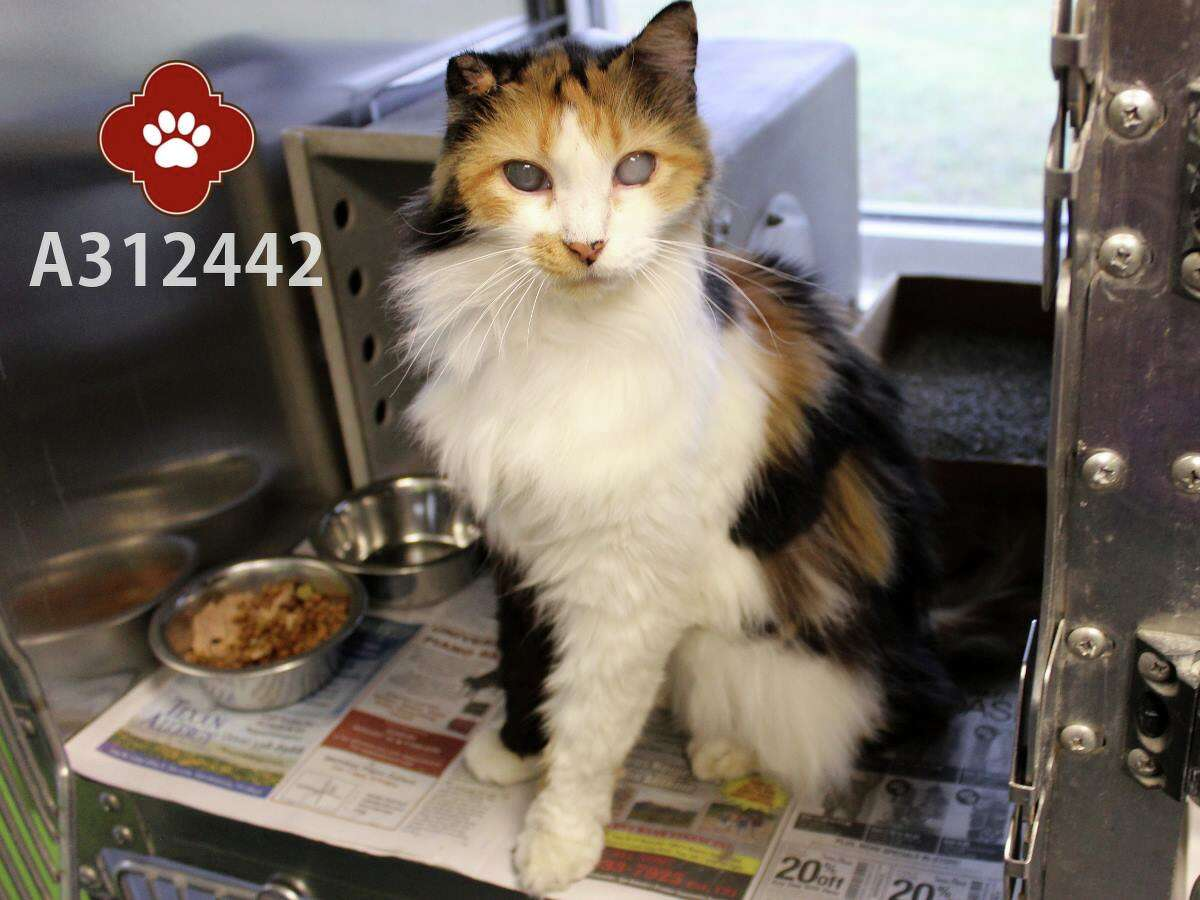Rose is one of three senior cats given up by owner in San Antonio because they are