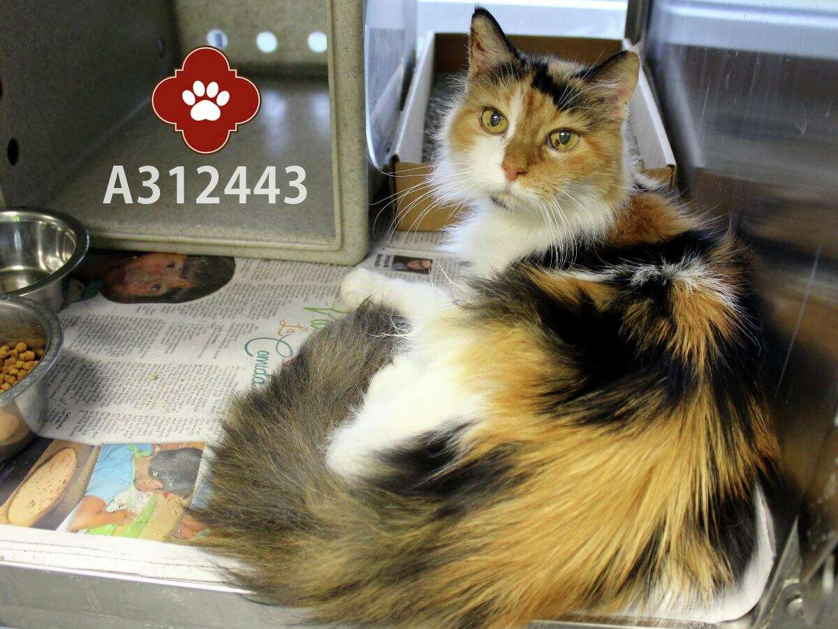 Blanche is one of three senior cats given up by owner in San Antonio because they are