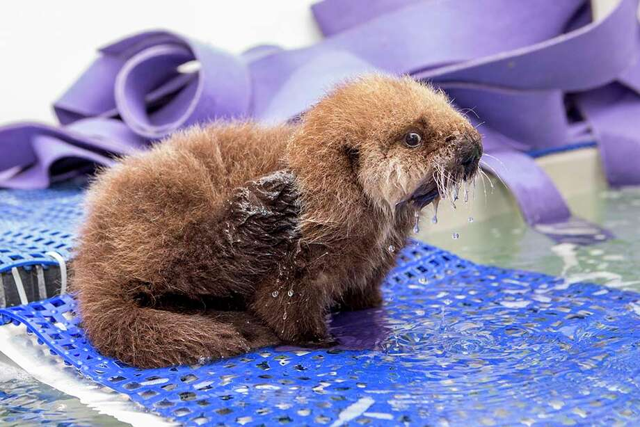Pup 681, an orphaned baby sea otter, was rescued from a San Mateo Beach in October and recently transported to her new home at the Shedd Aquarium in Chicago. Photo: Brenna Hernandez, Shedd Aquarium/ Brenna Hernandez / Shedd Aquarium/ Brenna Hernandez