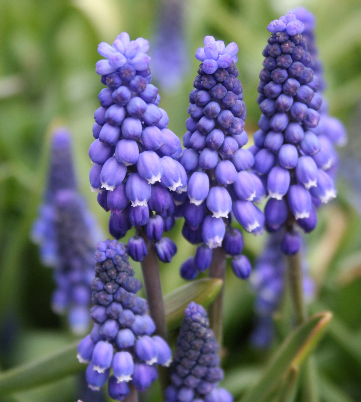 5 flowering bulbs to plant now for spring SFGate