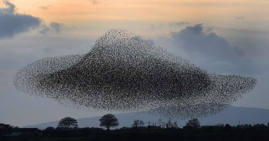 Starling show:A murmuration of starlings gather near Gretna, Scotland, putting on one of nature's most spectacular shows. The starlings flock to the area every February and November, forming irregular patterns such as this hat-shaped one. Photo: Owen Humphreys, Associated Press