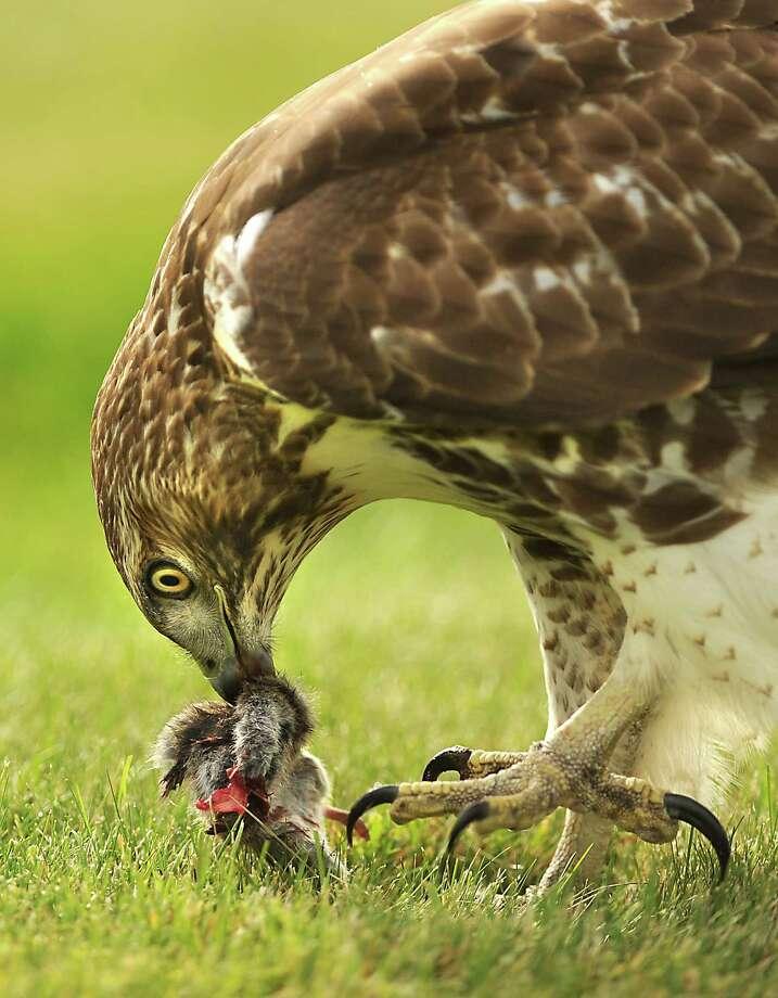A hawk consumes a mouse on a lawn on Thursday, Nov. 6, 2014 in Colonie, N.Y. (Lori Van Buren / Times Union) Photo: Lori Van Buren